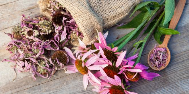 dried echinacea flowers